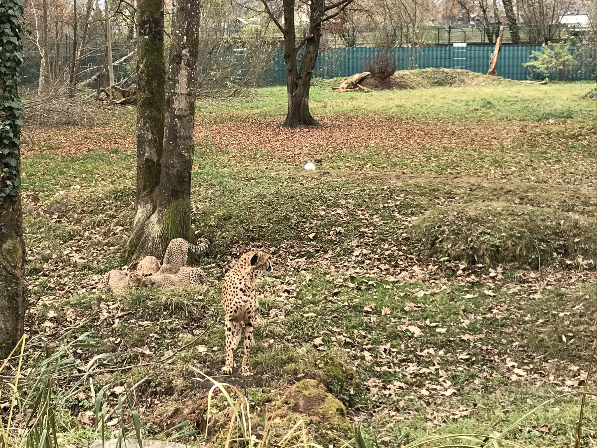 Zoobesuch im Zuge einer Geparden-Patenschaft